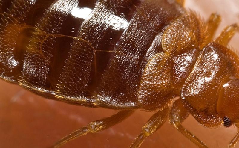 140806-bedbug-1229_073ef8f8179eef54eb5f14409c1822b0
