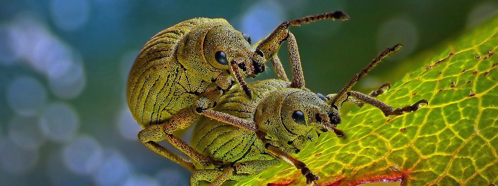 2014-4-Pinter-Phyllobius-roboretanus-insects