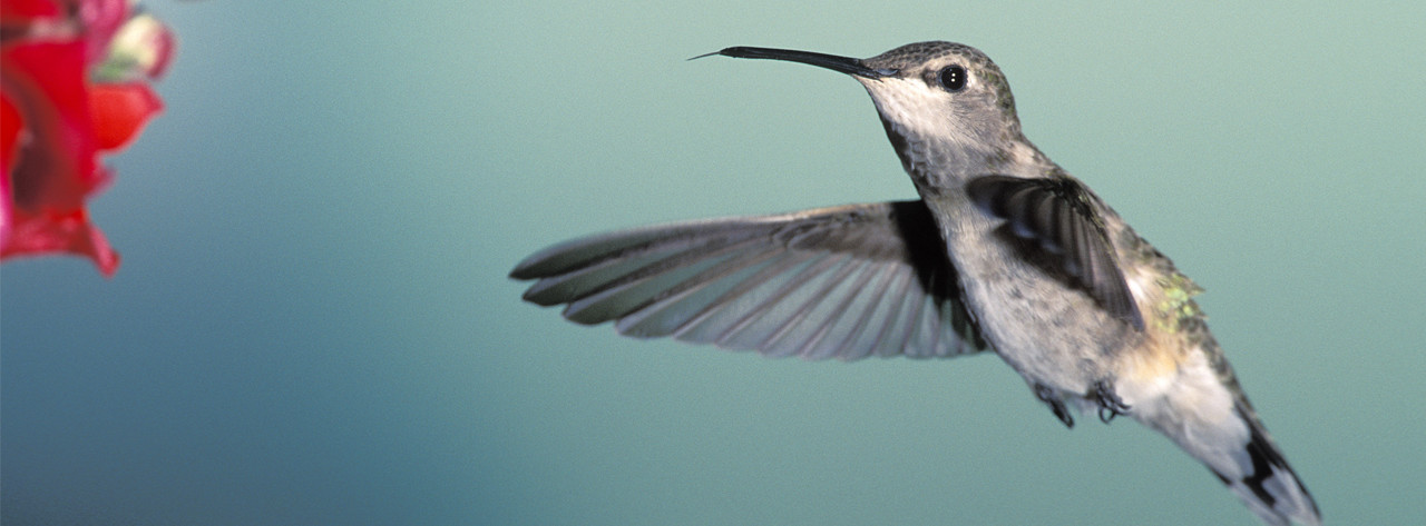 dnews--1238--what-hummingbirds-can-teach-us-about-flying--large.thumb